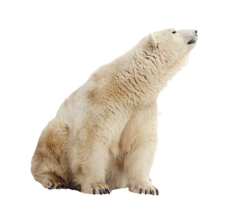 Urso polar. Isolado sobre o branco fotos de stock