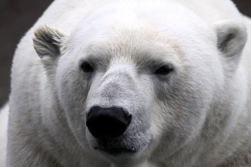 Urso polar (maritimus do Ursus) imagem de stock royalty free