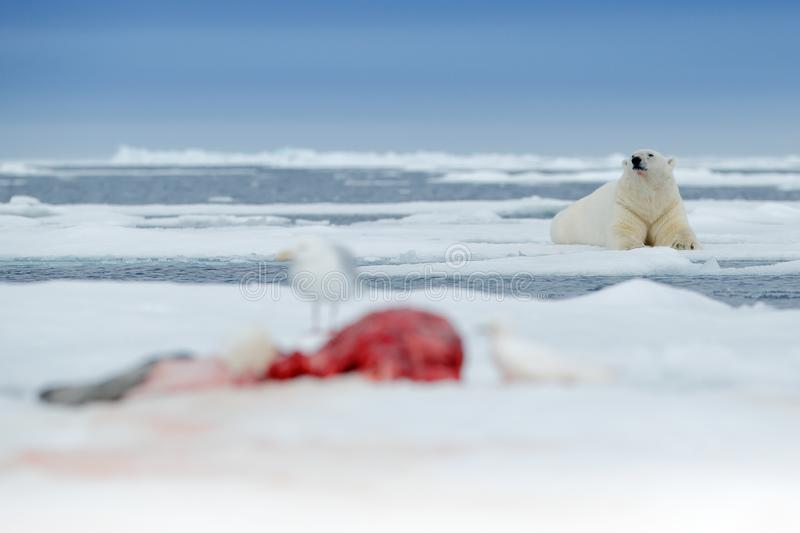 Urso polar na borda do gelo de tração com neve e na água no mar Animal branco no habitat da natureza com a captura do selo do san fotografia de stock