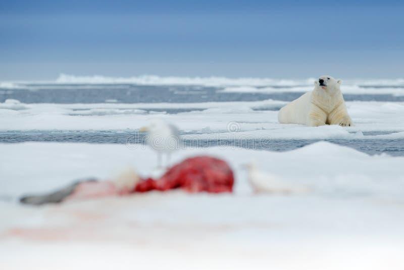 Urso polar na borda do gelo de tração com neve e na água no mar Animal branco no habitat da natureza com a captura do selo do san fotografia de stock