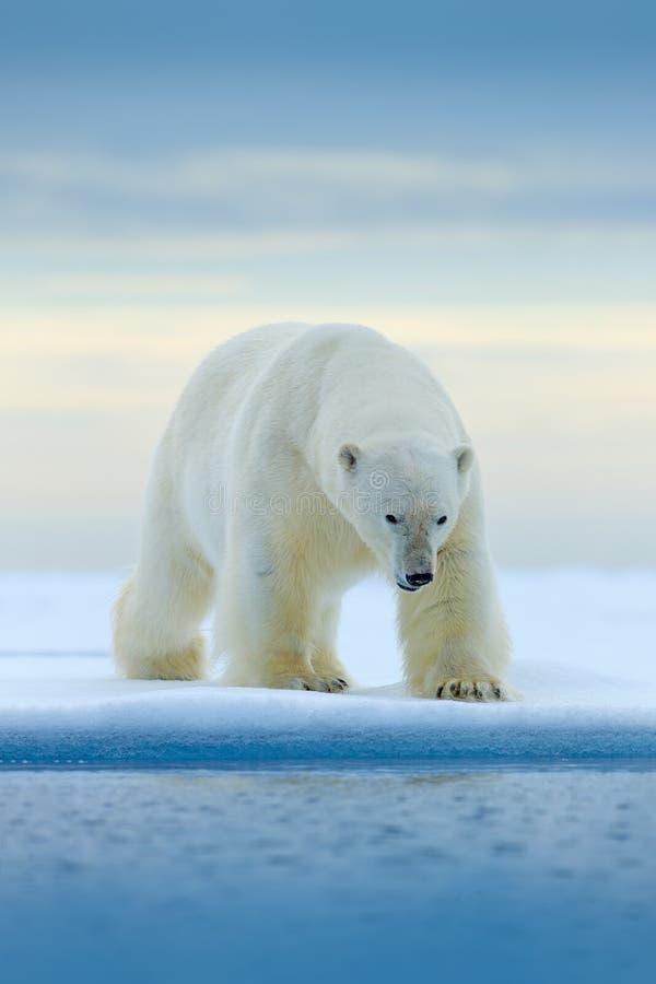 Urso polar na borda do gelo de tração com neve e na água no mar de Noruega Animal branco no habitat da natureza, Europa Cena dos  fotografia de stock