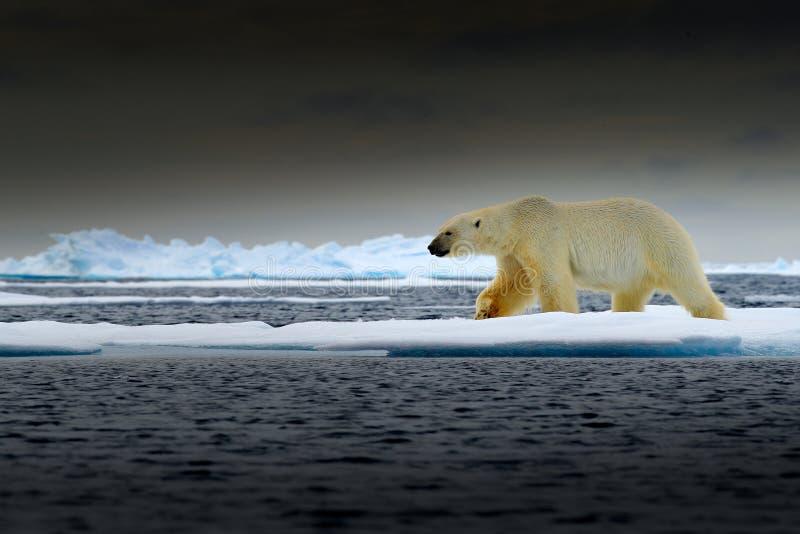 Urso polar na borda do gelo de tração com neve e na água no mar de Noruega Animal branco no habitat da natureza, Europa Cena dos  imagem de stock royalty free