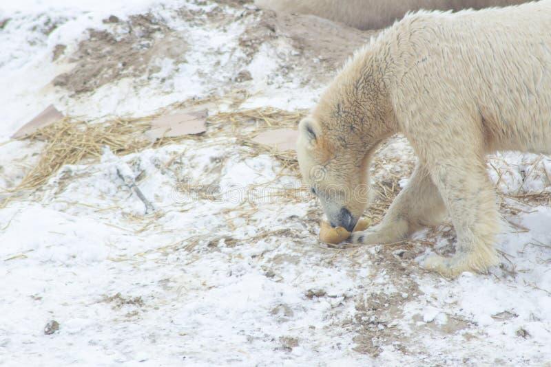 Urso polar na neve imagens de stock