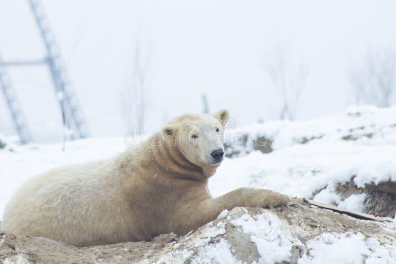 Urso polar na neve fotografia de stock