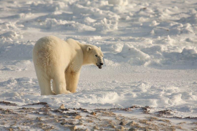 Urso polar no ártico imagem de stock