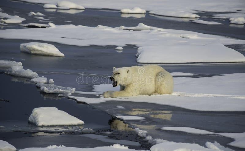 Urso polar no gelo imagem de stock
