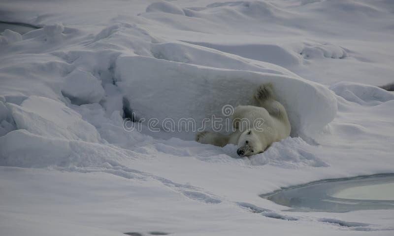 Urso polar no gelo imagens de stock