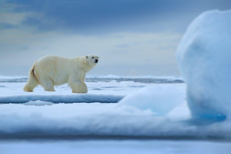 Urso polar no gelo com neve e o monte grande do gelo Urso branco perigoso observando seu habitat À procura do alimento Cena dos a imagem de stock
