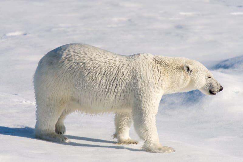Urso polar no gelo de bloco fotos de stock