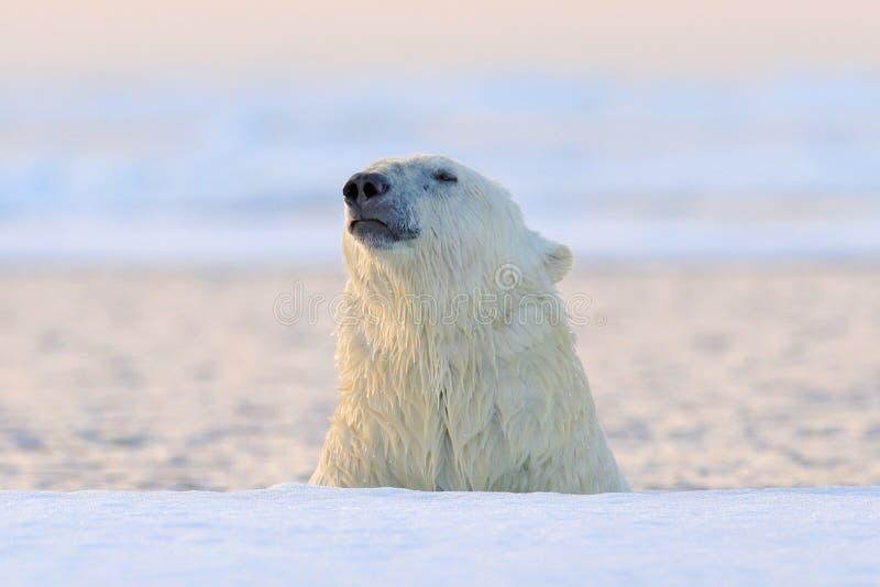 Urso polar no gelo de tração, Manitoba, Canadá Retrato do urso branco na água, por do sol fotos de stock royalty free