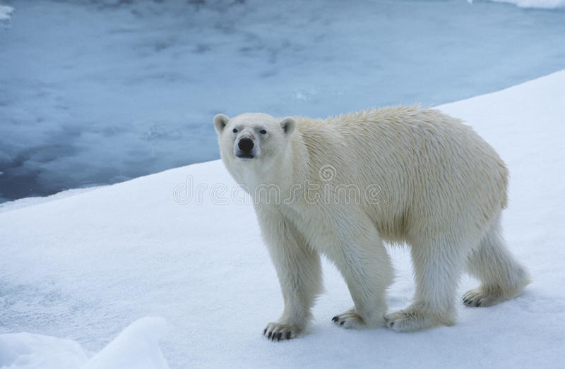 Urso polar no gelo Yukon imagem de stock