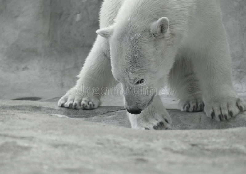 Urso polar no jogo fotos de stock