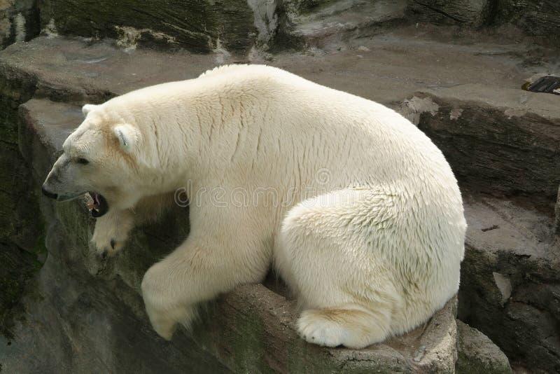 Urso polar no sol fotos de stock