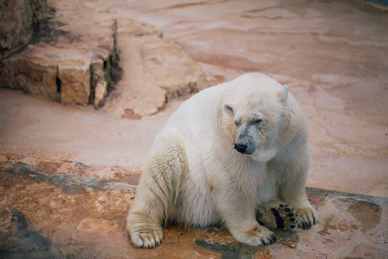Urso polar nos animais selvagens do jardim zoológico no safari Itália do apulia de Fasano fotos de stock royalty free