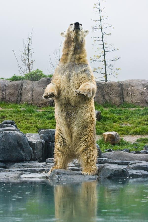 Urso polar que está ereto fotografia de stock