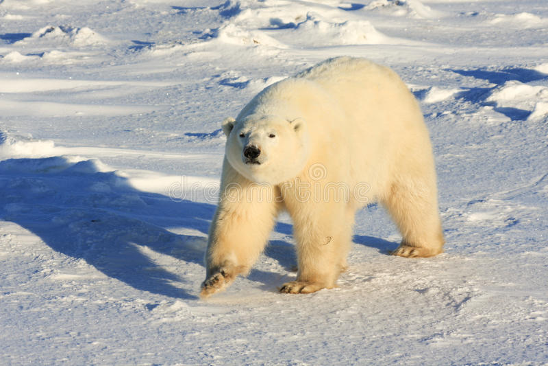 Urso polar saudável fotos de stock royalty free