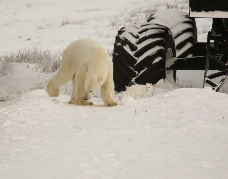 Urso polar saudável e raposa ártica imagens de stock