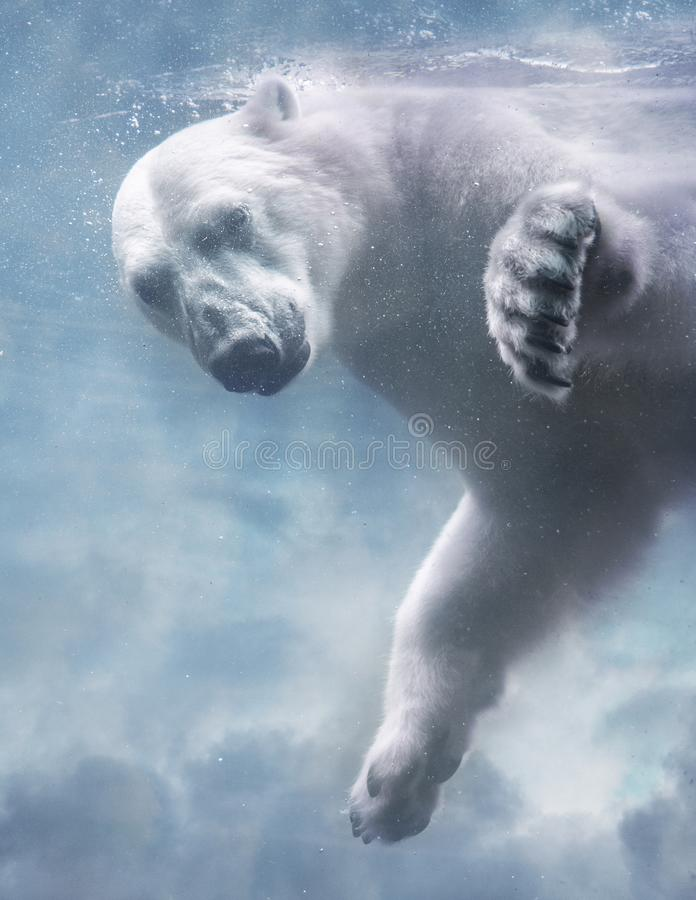 Urso polar sob a ?gua fotografia de stock