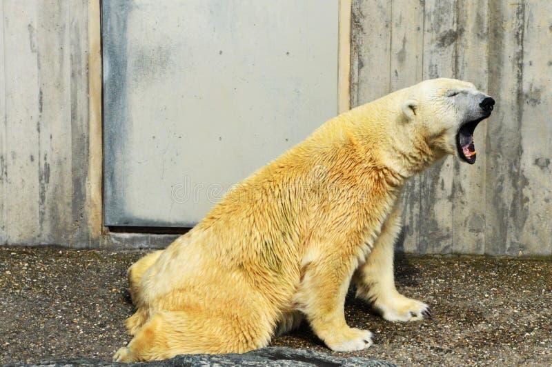 Urso polar sonolento fotografia de stock royalty free