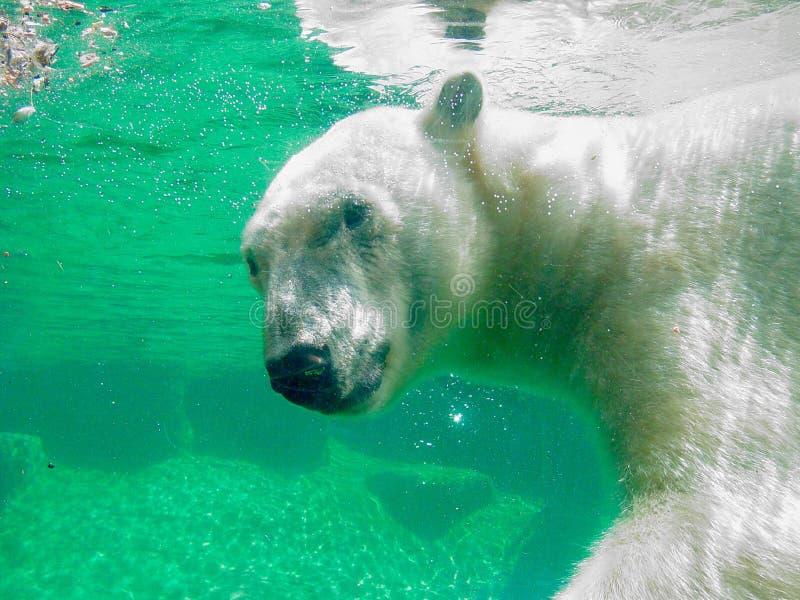 Urso polar subaquático fotografia de stock royalty free