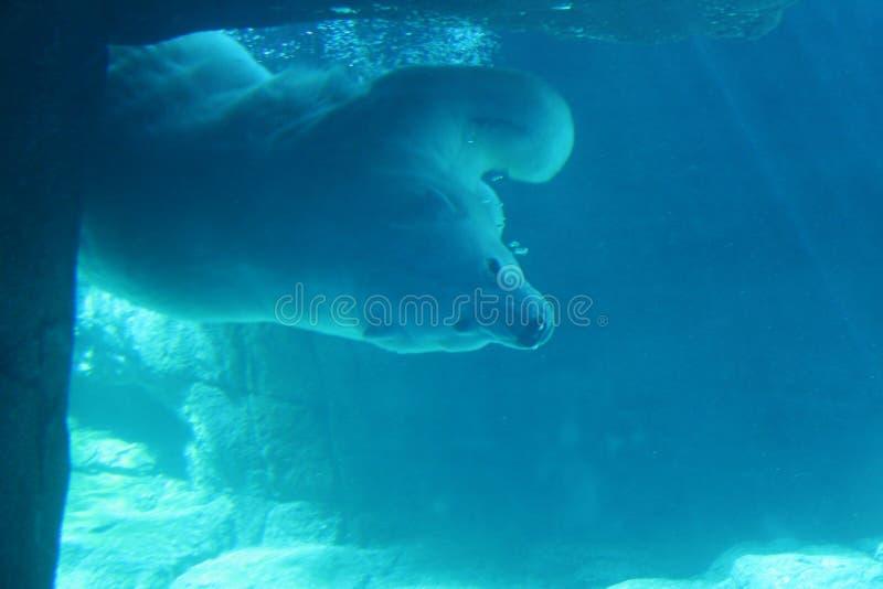 Urso polar subaquático imagem de stock