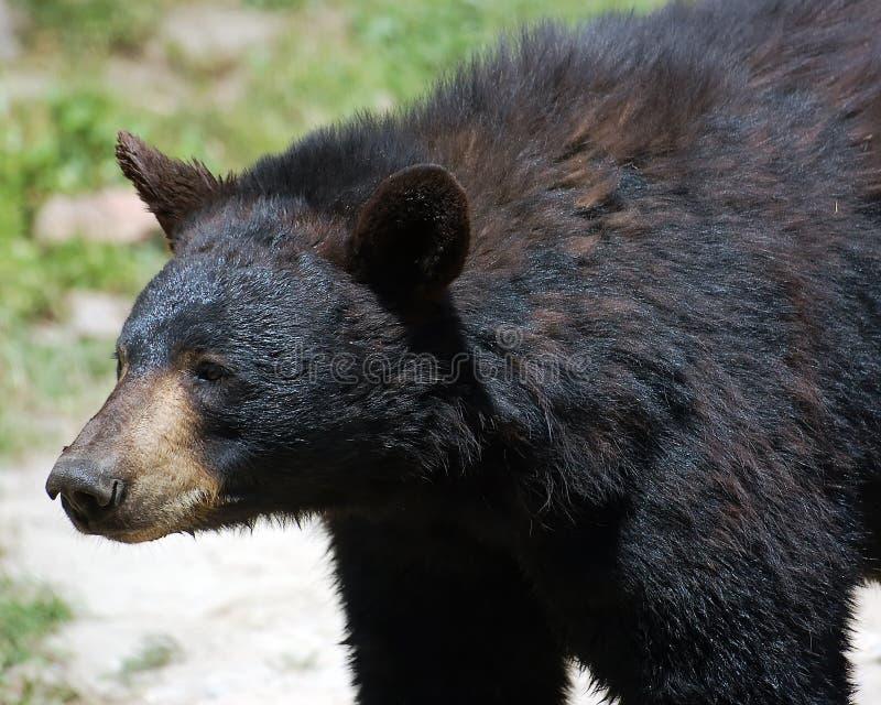 Urso preto imagem de stock royalty free