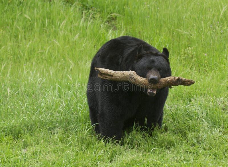 Urso preto americano fotografia de stock