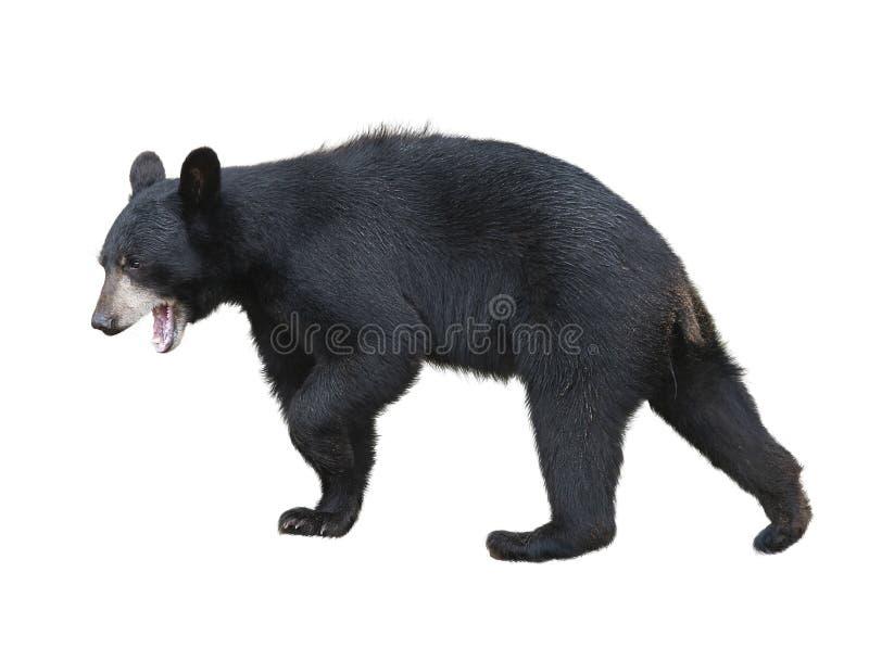 Urso preto americano no fundo branco fotos de stock royalty free