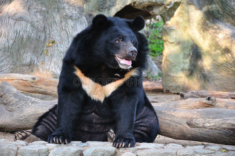 Urso preto asiático imagens de stock