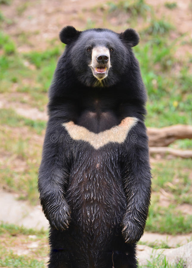 Urso preto asiático fotos de stock royalty free