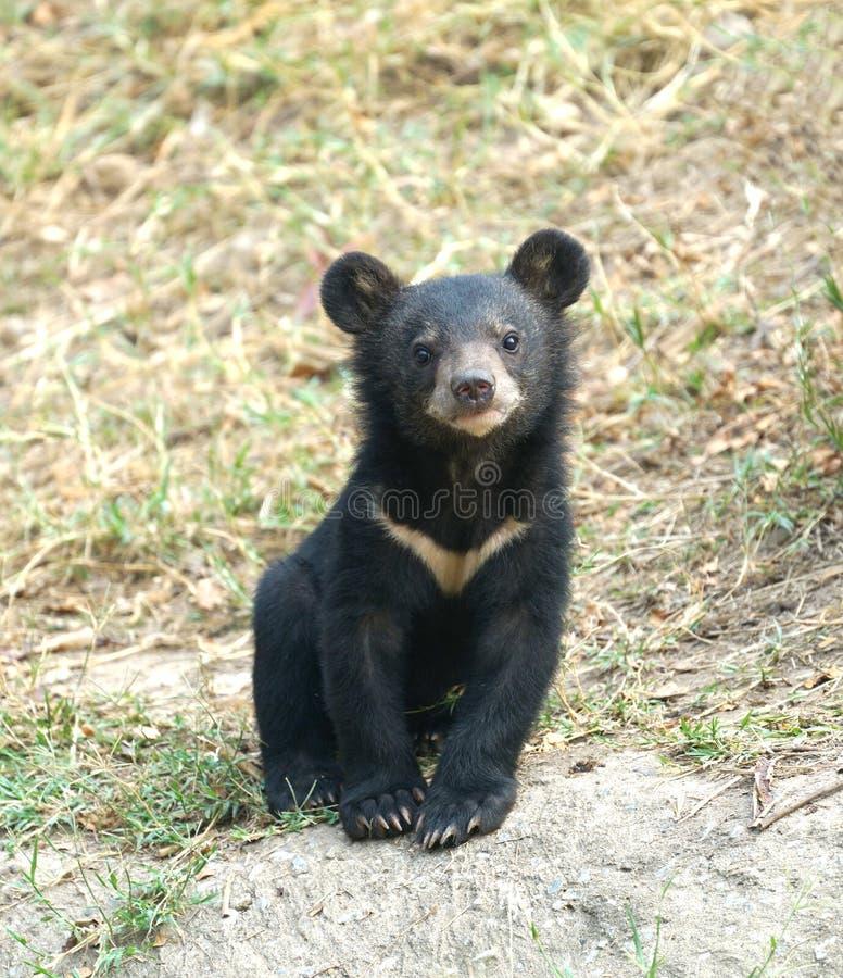 Urso preto asiático novo fotografia de stock