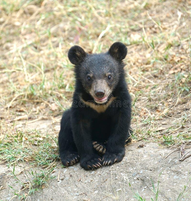 Urso preto asiático novo foto de stock