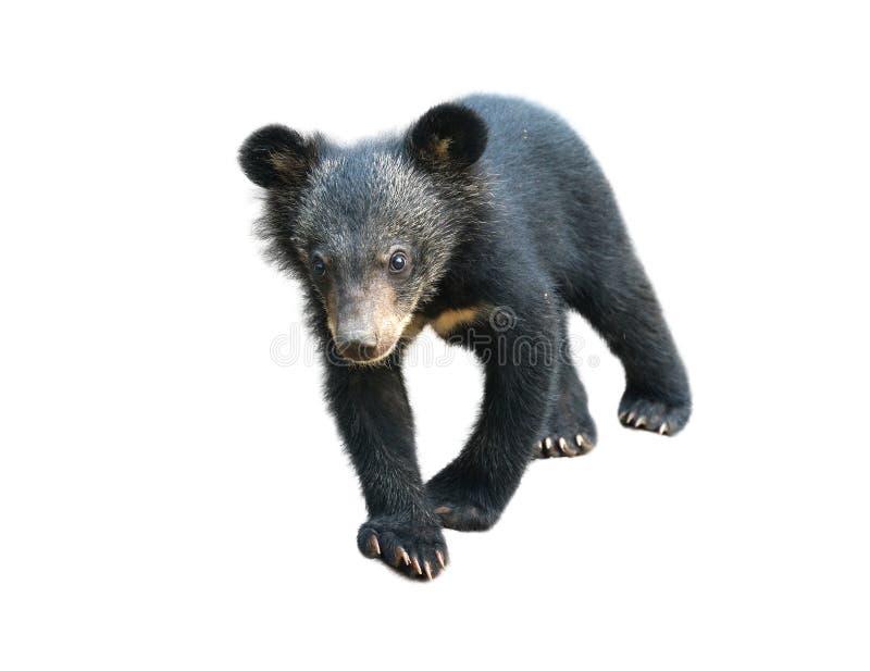 Urso preto asiático novo isolado imagem de stock