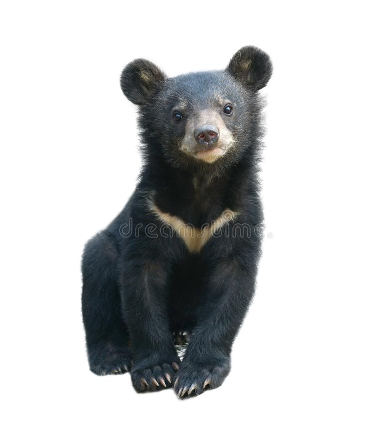 Urso preto asiático novo isolado imagens de stock