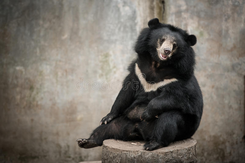 Urso preto asiático, urso preto asiático (thibetanus do selenarctos) imagens de stock royalty free