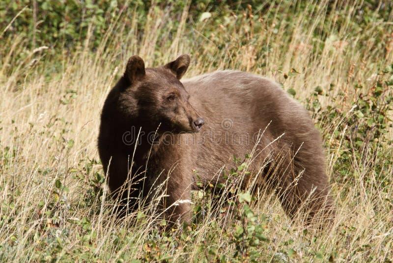 Urso preto de cor castanha - lagos Waterton, Albert imagens de stock royalty free