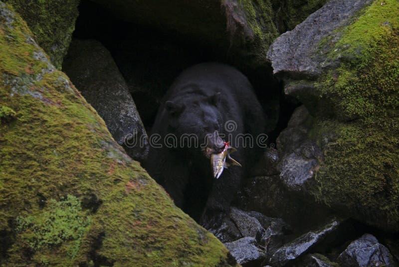 Urso preto do Alasca que Gorging em salmões foto de stock royalty free