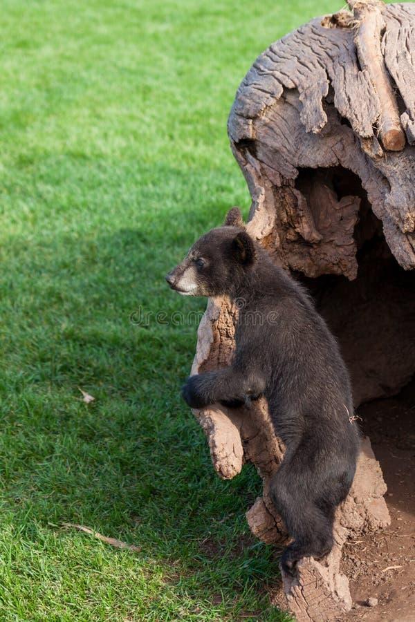 Urso preto do bebê curioso imagens de stock royalty free