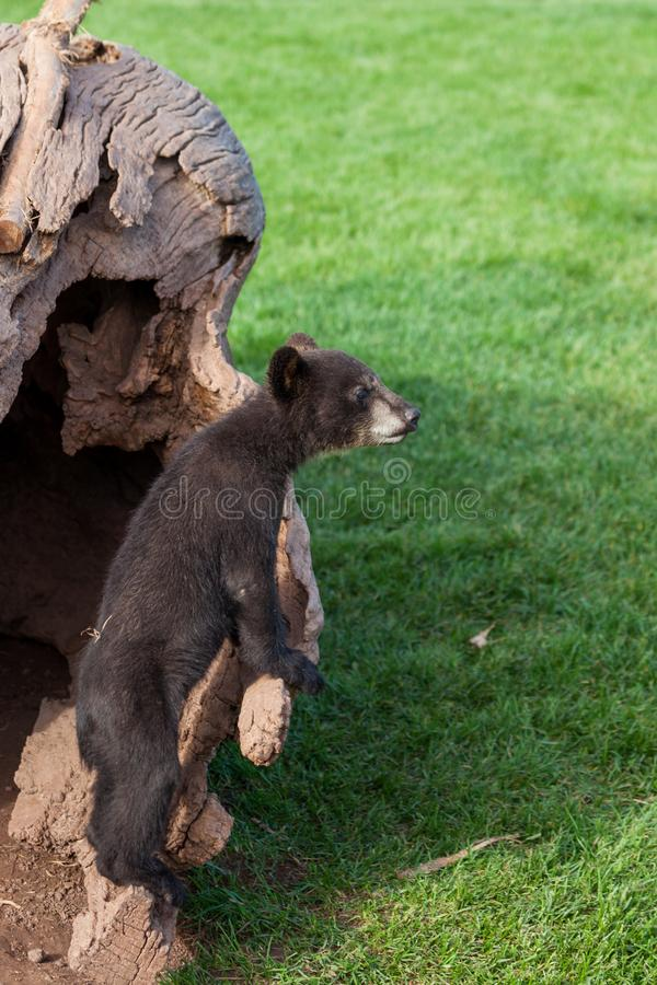 Urso preto do bebê curioso fotos de stock royalty free