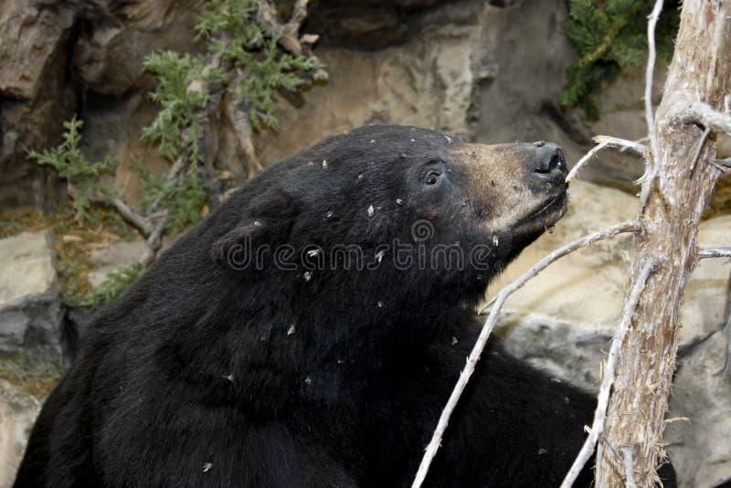 Urso preto e abelhas imagem de stock royalty free