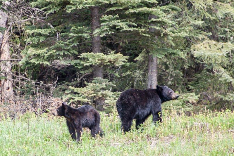 Urso preto e Cub imagem de stock royalty free