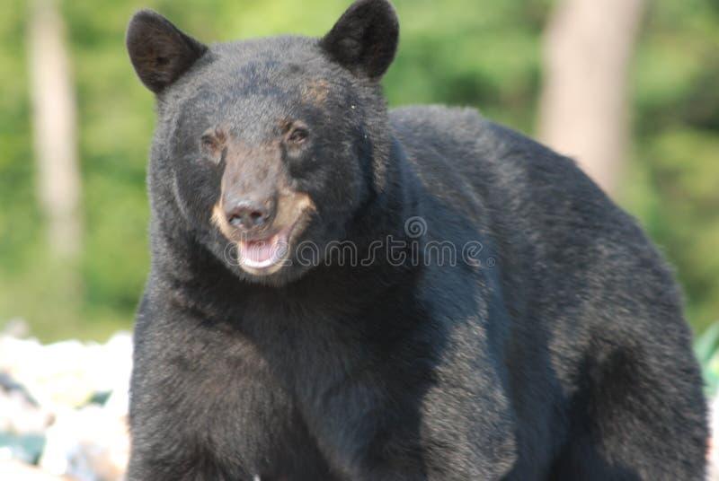 Urso preto em uma descarga de lixo fotografia de stock royalty free
