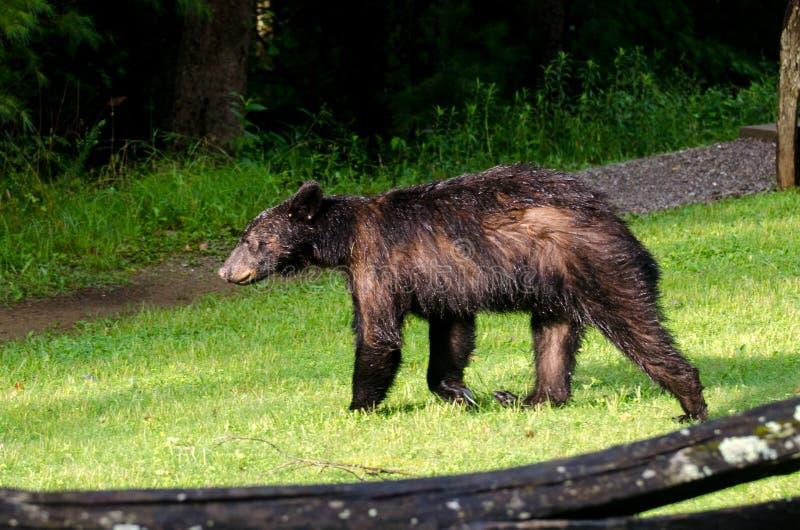 Urso preto na angra GSMNP de Cades imagem de stock royalty free