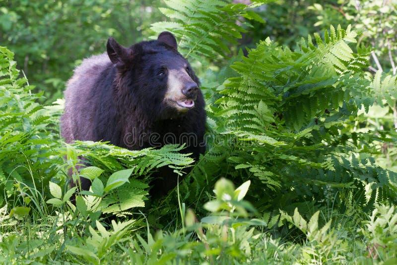 Urso preto nas samambaias fotos de stock royalty free
