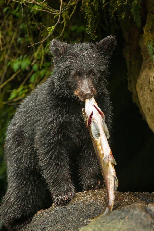 Urso preto novo fotos de stock
