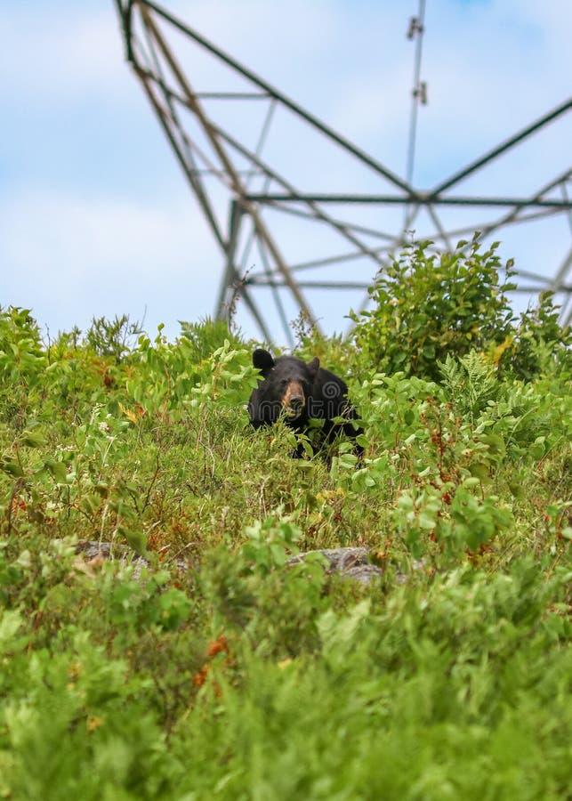 Urso preto que come bagas em hidro linhas no parque do Algonquin foto de stock