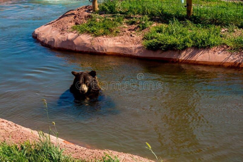Urso preto que nada na lagoa no parque do país do urso, cidade rápida, SD, EUA foto de stock