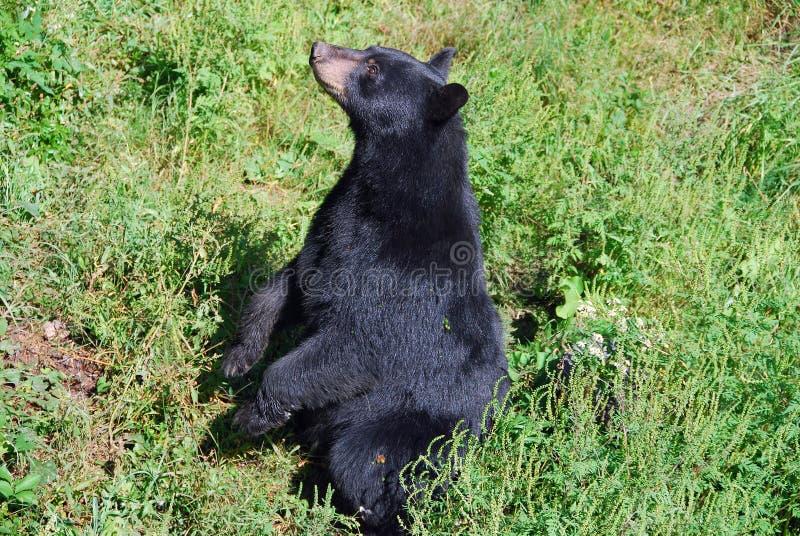 Urso preto que senta-se acima imagem de stock