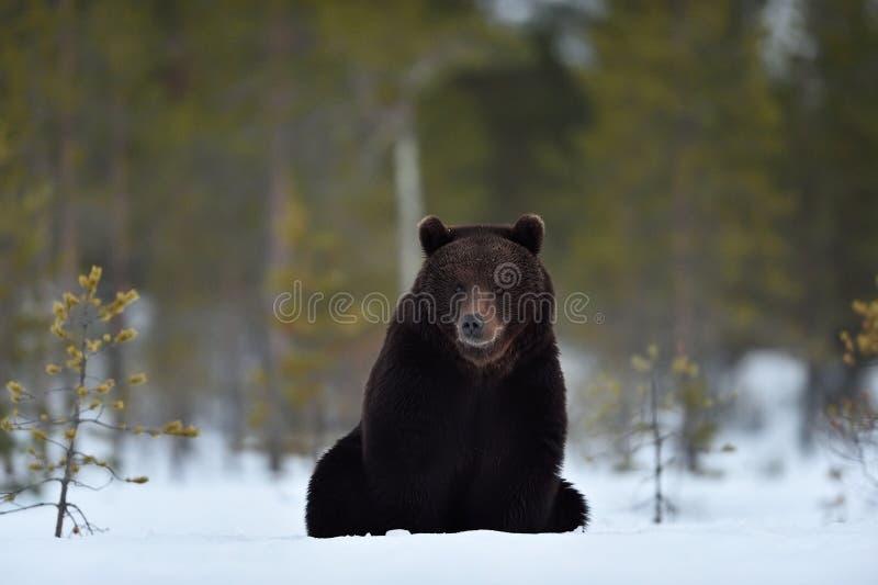 Urso que senta-se na neve fotos de stock