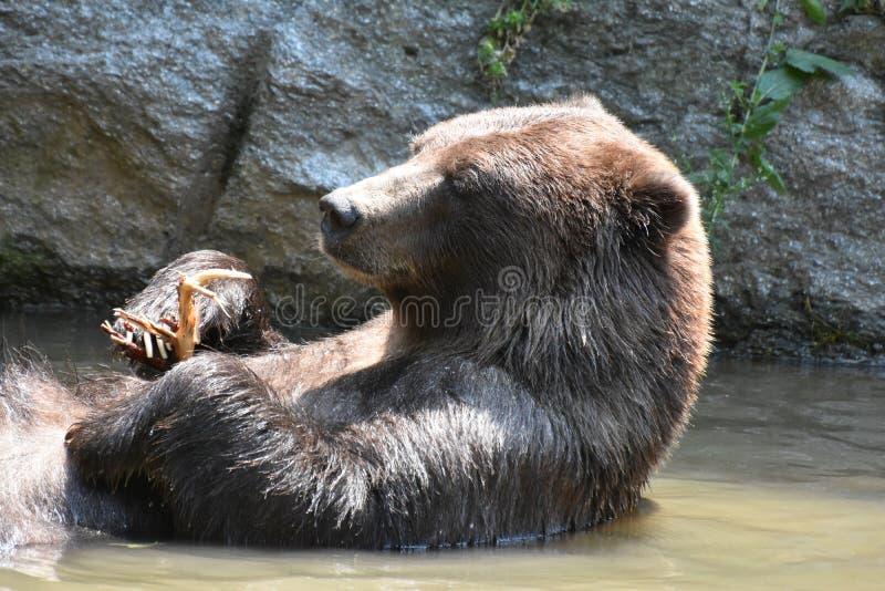 Urso selvagem do silvertip que flutua em sua parte traseira fotografia de stock